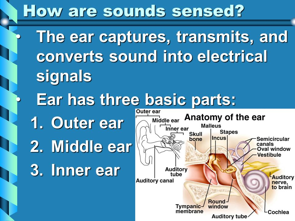 How are sounds sensed The ear captures, transmits, and converts sound into electrical signals. Ear has three basic parts: