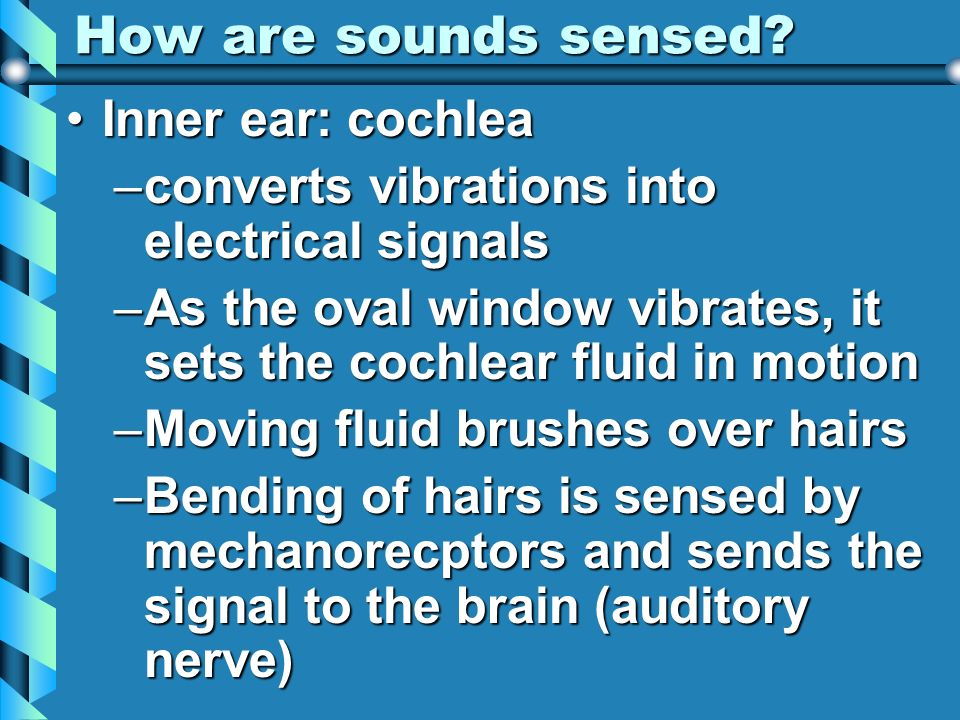 How are sounds sensed Inner ear: cochlea