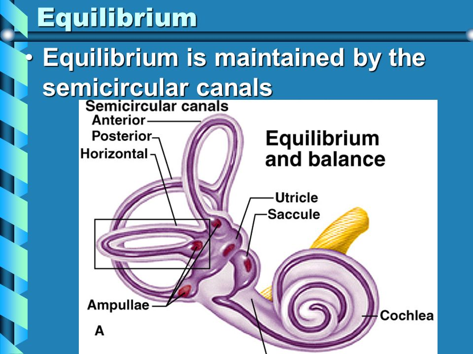 Equilibrium Equilibrium is maintained by the semicircular canals