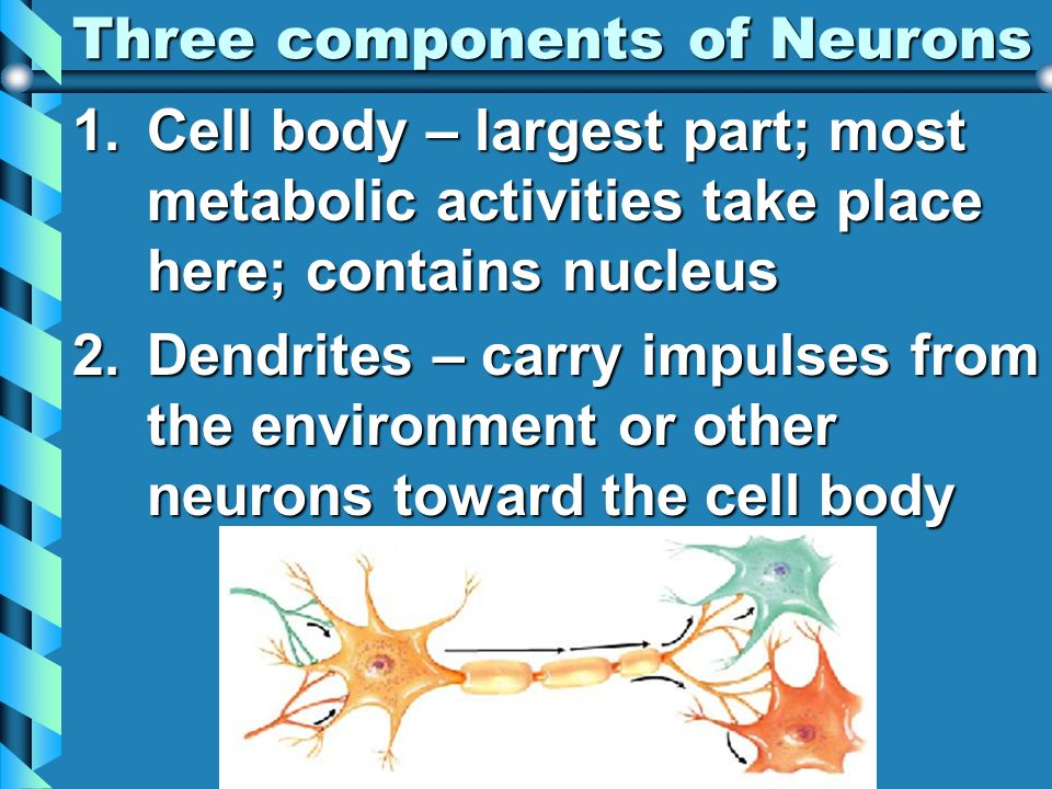 Three components of Neurons