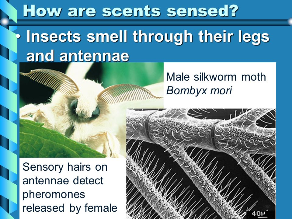 Insects smell through their legs and antennae