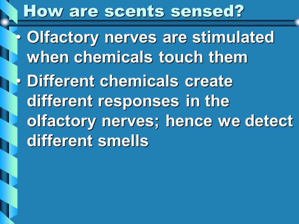 How are scents sensed Olfactory nerves are stimulated when chemicals touch them.