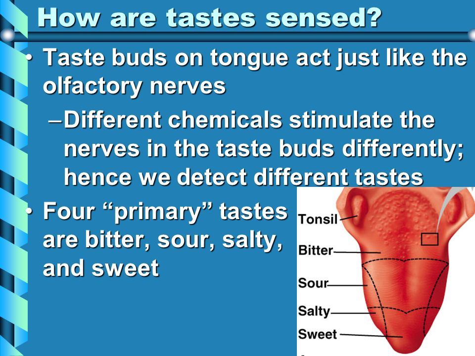 How are tastes sensed Taste buds on tongue act just like the olfactory nerves.