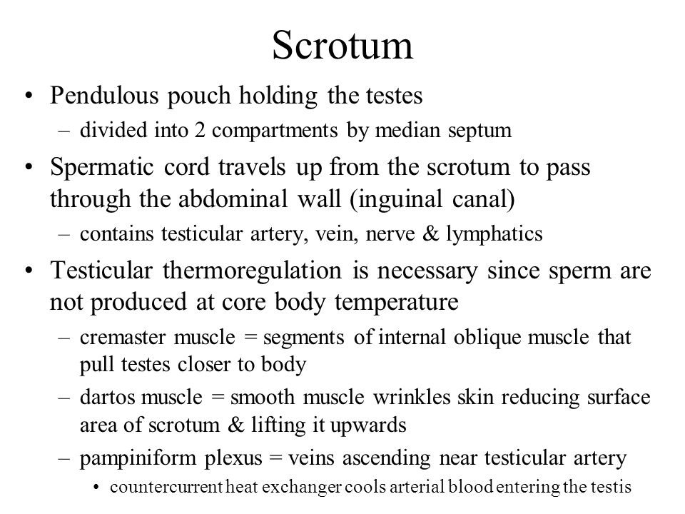 Scrotum Pendulous pouch holding the testes