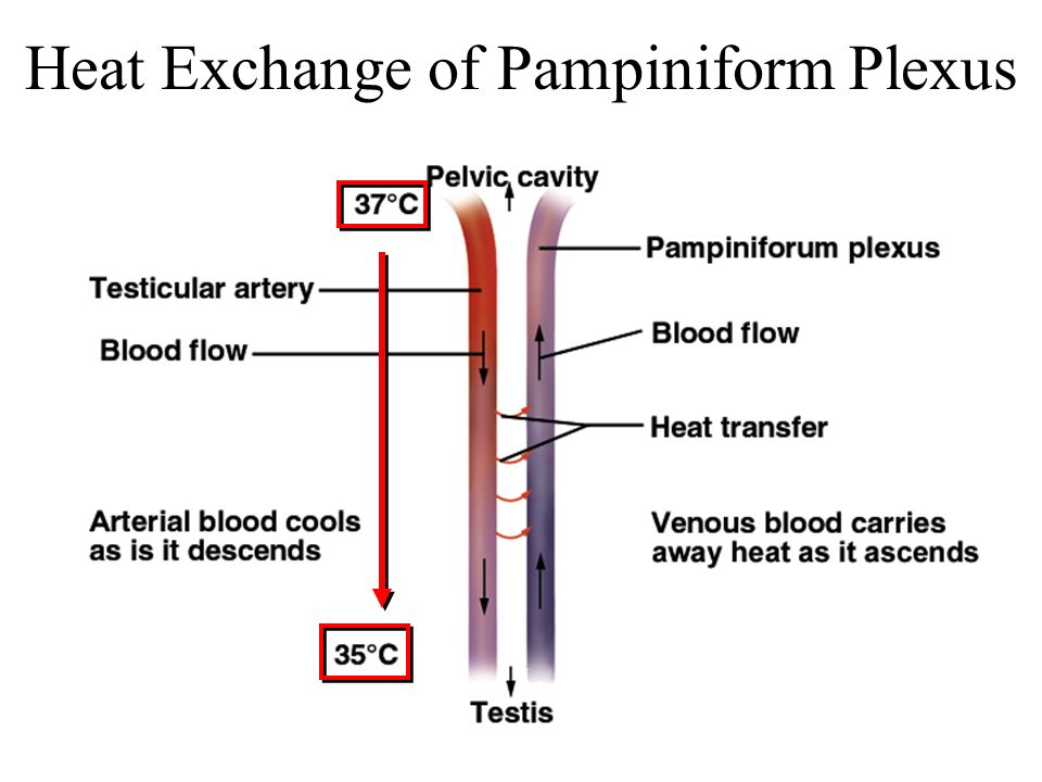 Heat Exchange of Pampiniform Plexus