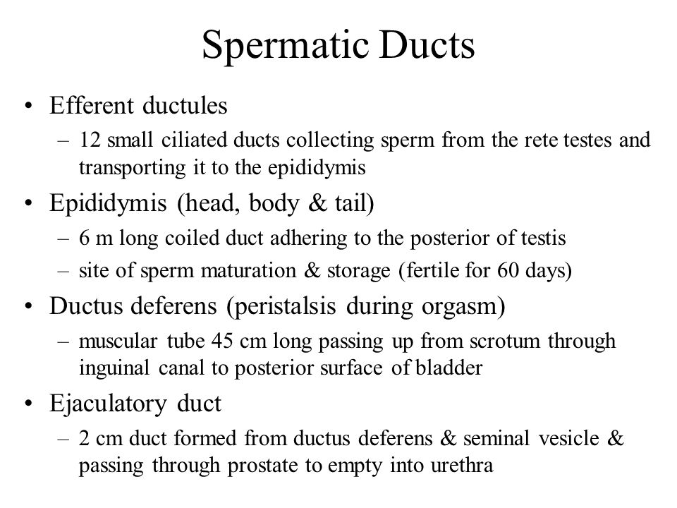 Spermatic Ducts Efferent ductules Epididymis (head, body & tail)