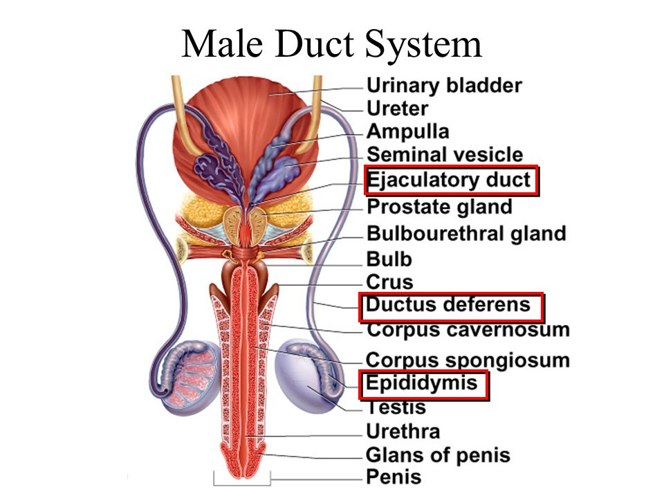 Male Duct System