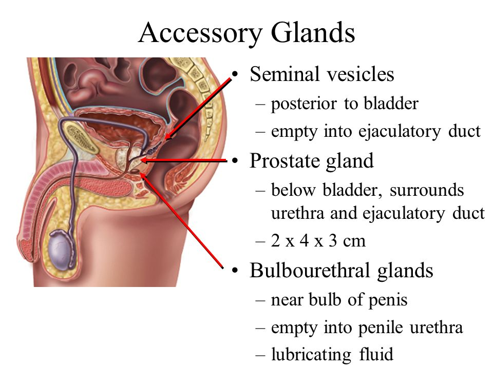 Accessory Glands Seminal vesicles Prostate gland Bulbourethral glands