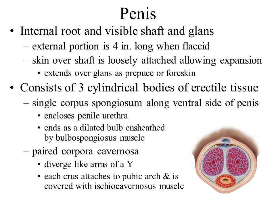 Penis Internal root and visible shaft and glans