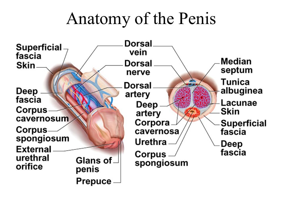 Anatomy of the Penis