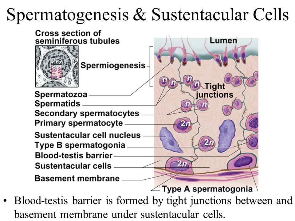 Spermatogenesis & Sustentacular Cells