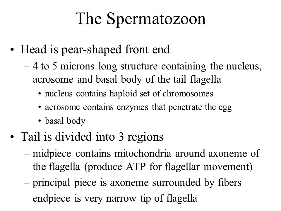 The Spermatozoon Head is pear-shaped front end