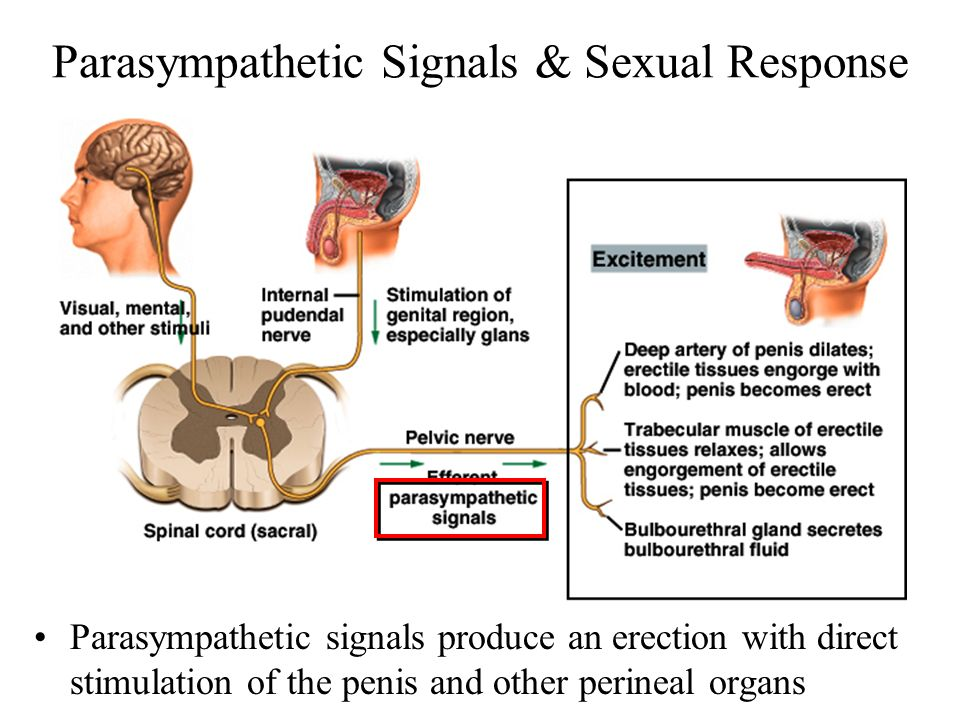 Parasympathetic Signals & Sexual Response