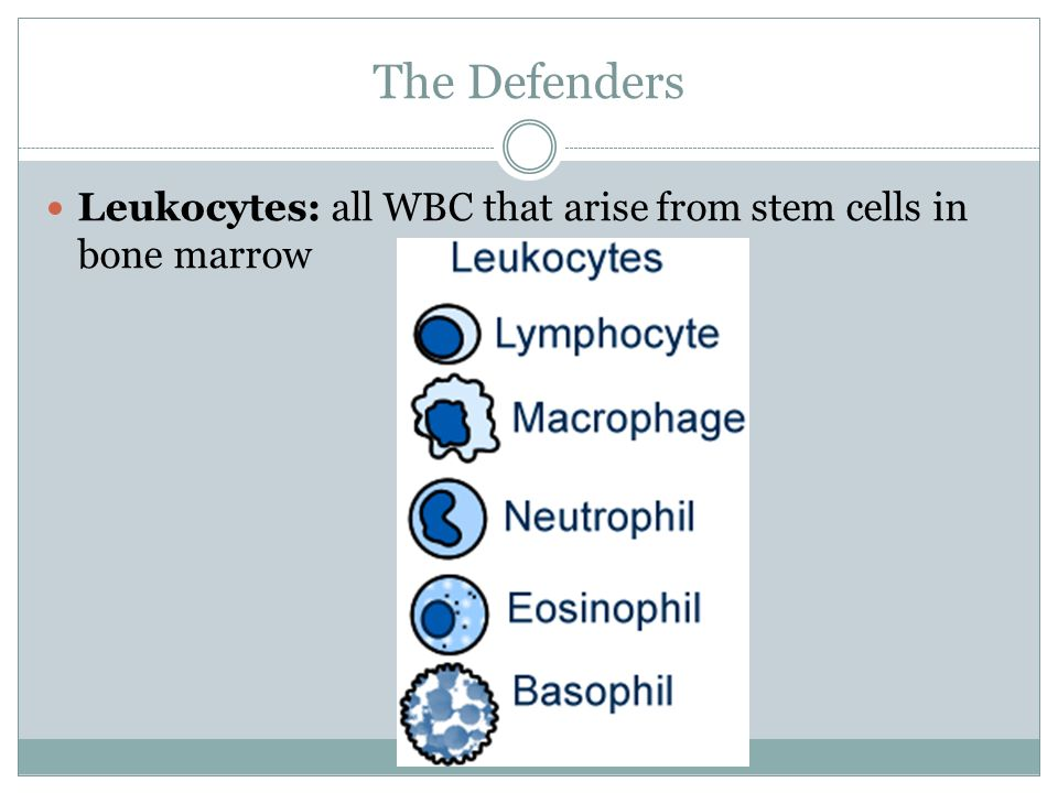 The Defenders Leukocytes: all WBC that arise from stem cells in bone marrow