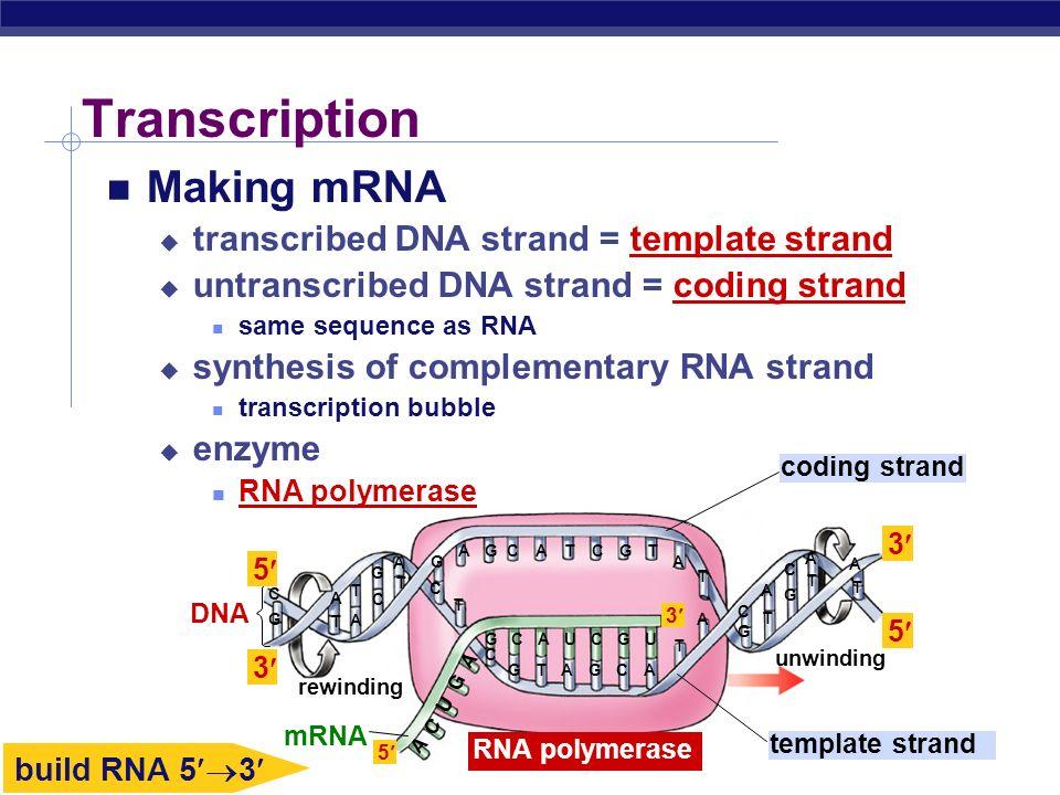 Transcription Making mRNA transcribed DNA strand = template strand