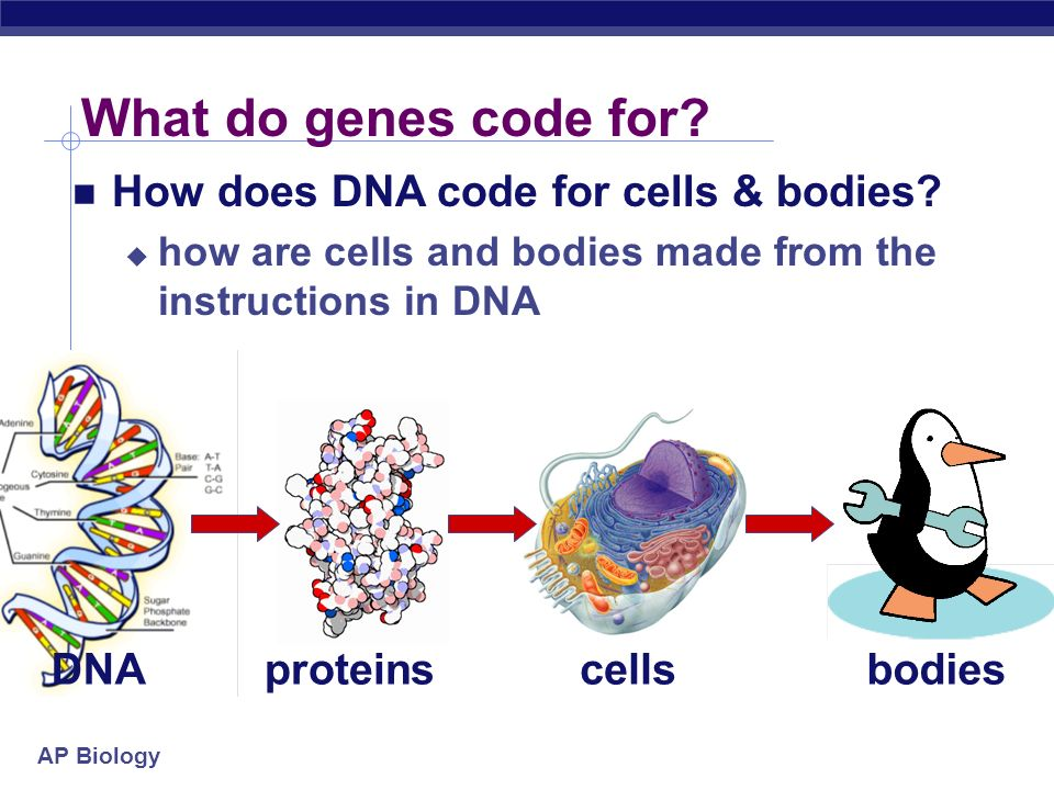 What do genes code for How does DNA code for cells & bodies DNA