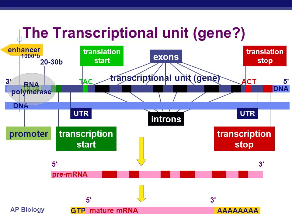 The Transcriptional unit (gene )