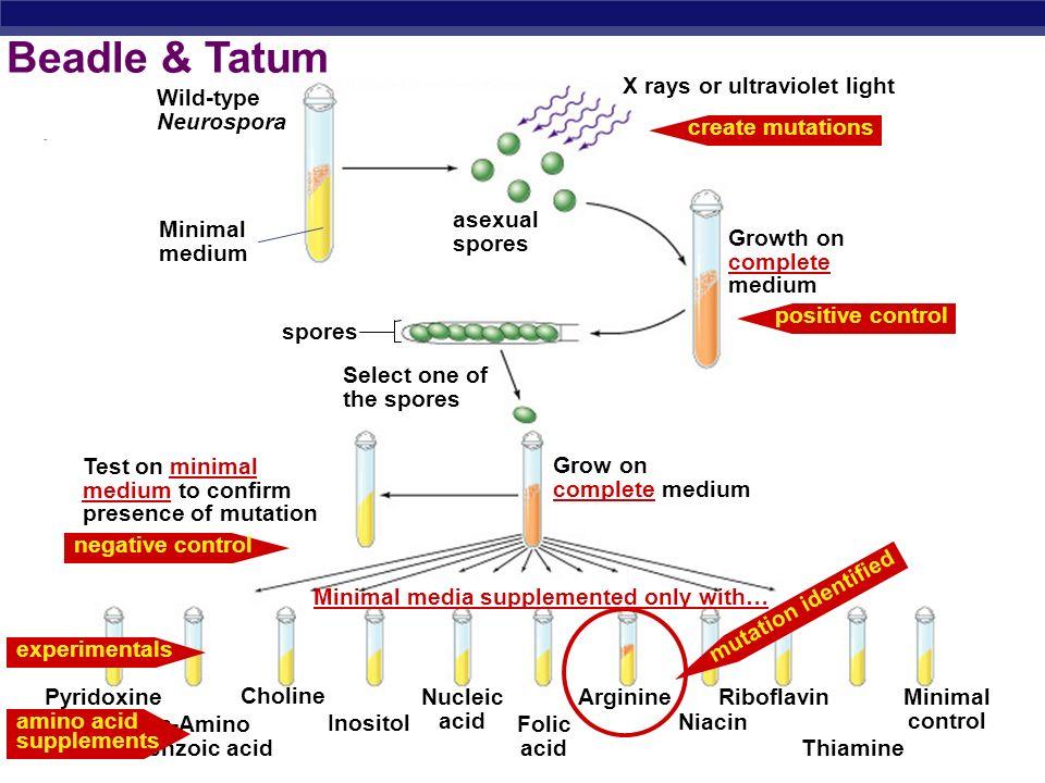 Beadle & Tatum Wild-type Neurospora Minimal medium Select one of