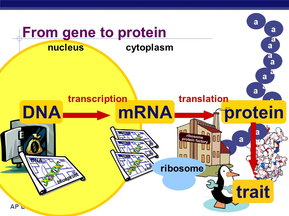 DNA mRNA protein trait From gene to protein nucleus cytoplasm