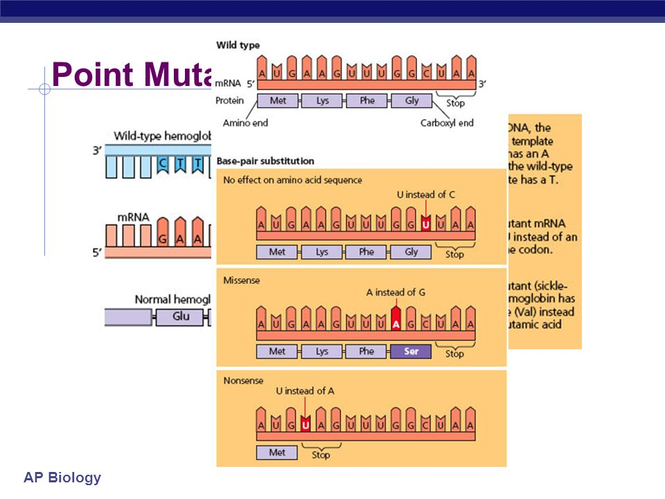 Point Mutation – Sickle Cell