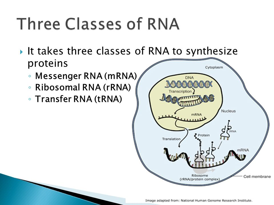 Three Classes of RNA It takes three classes of RNA to synthesize proteins. Messenger RNA (mRNA) Ribosomal RNA (rRNA)