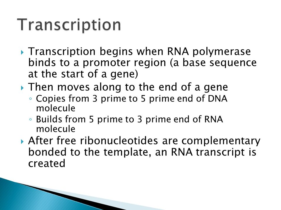 Transcription Transcription begins when RNA polymerase binds to a promoter region (a base sequence at the start of a gene)