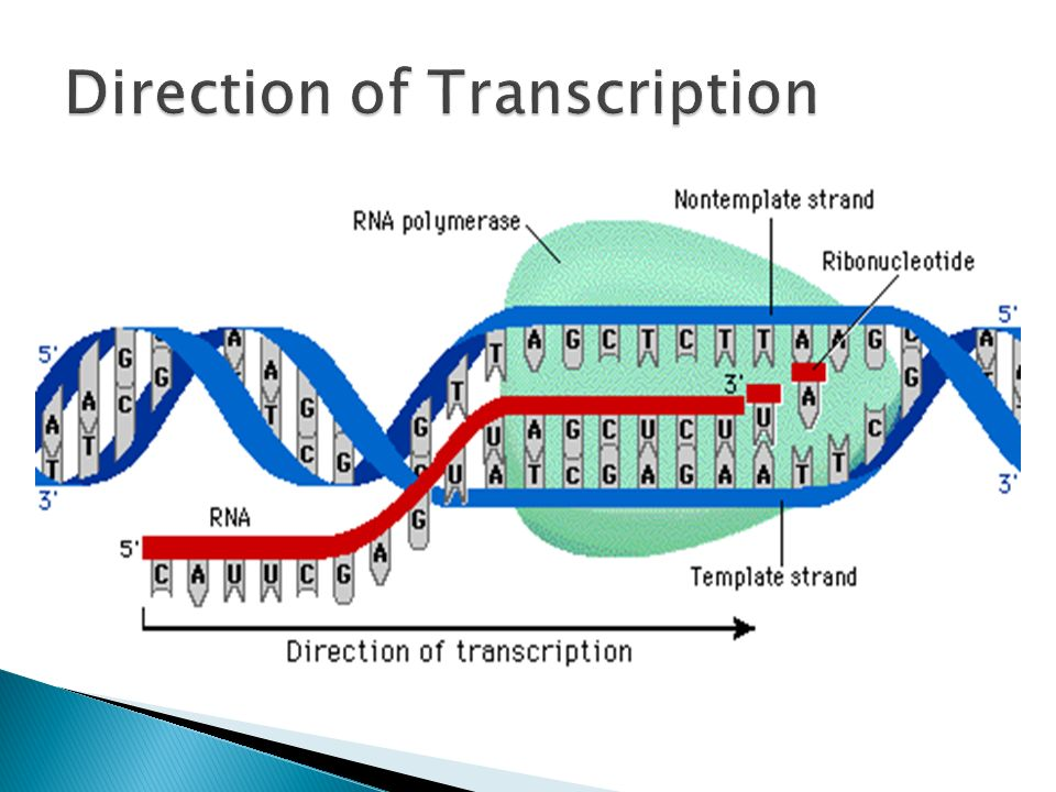 Direction of Transcription