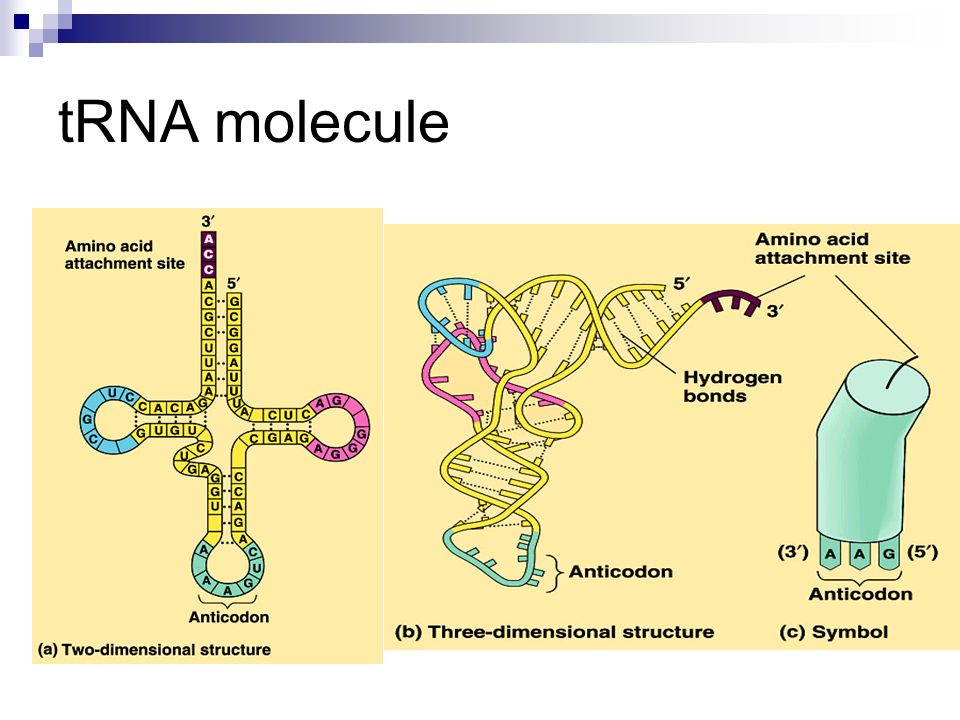 tRNA molecule