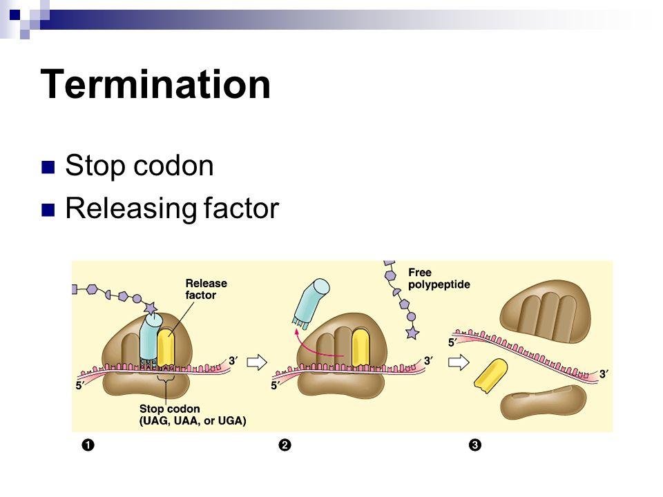 Termination Stop codon Releasing factor