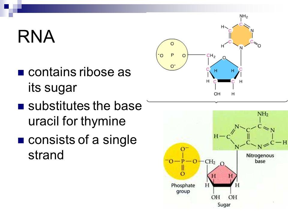 RNA contains ribose as its sugar