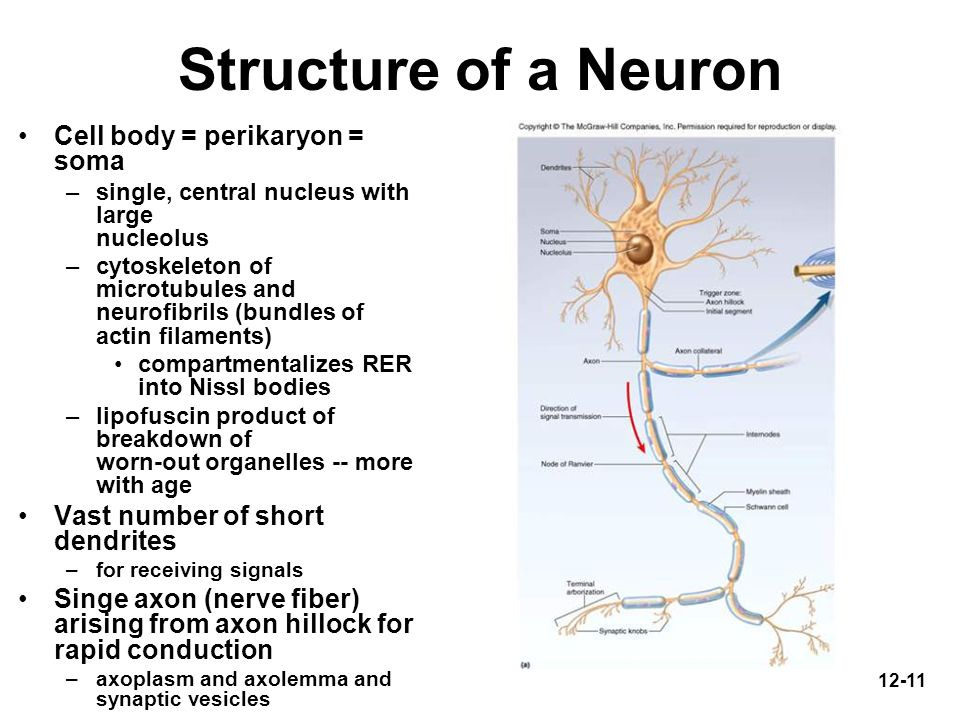 Structure of a Neuron Cell body = perikaryon = soma