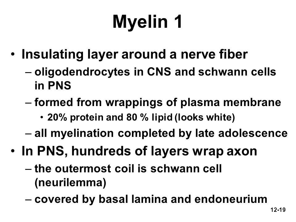 Myelin 1 Insulating layer around a nerve fiber