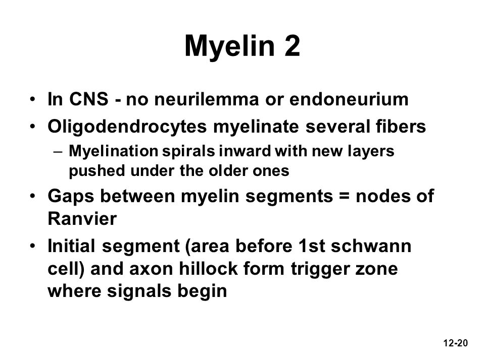 Myelin 2 In CNS - no neurilemma or endoneurium