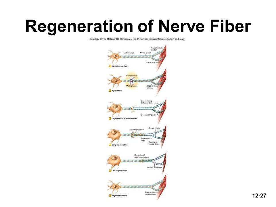 Regeneration of Nerve Fiber