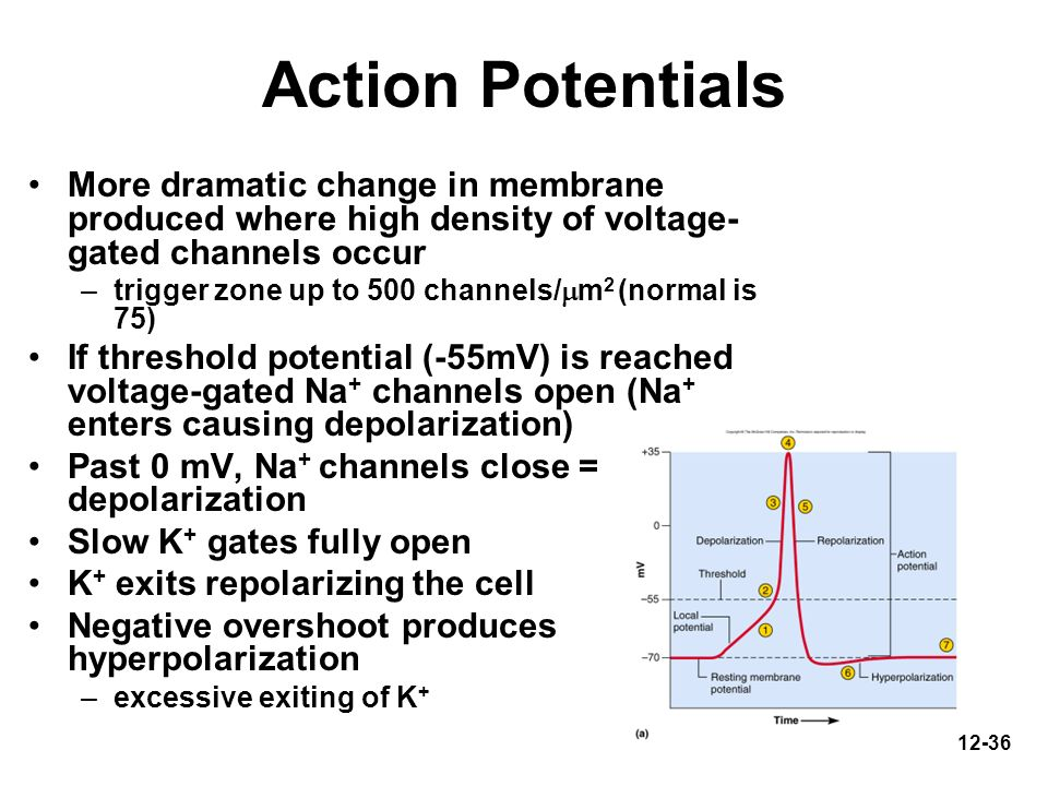 Action Potentials More dramatic change in membrane produced where high density of voltage-gated channels occur.