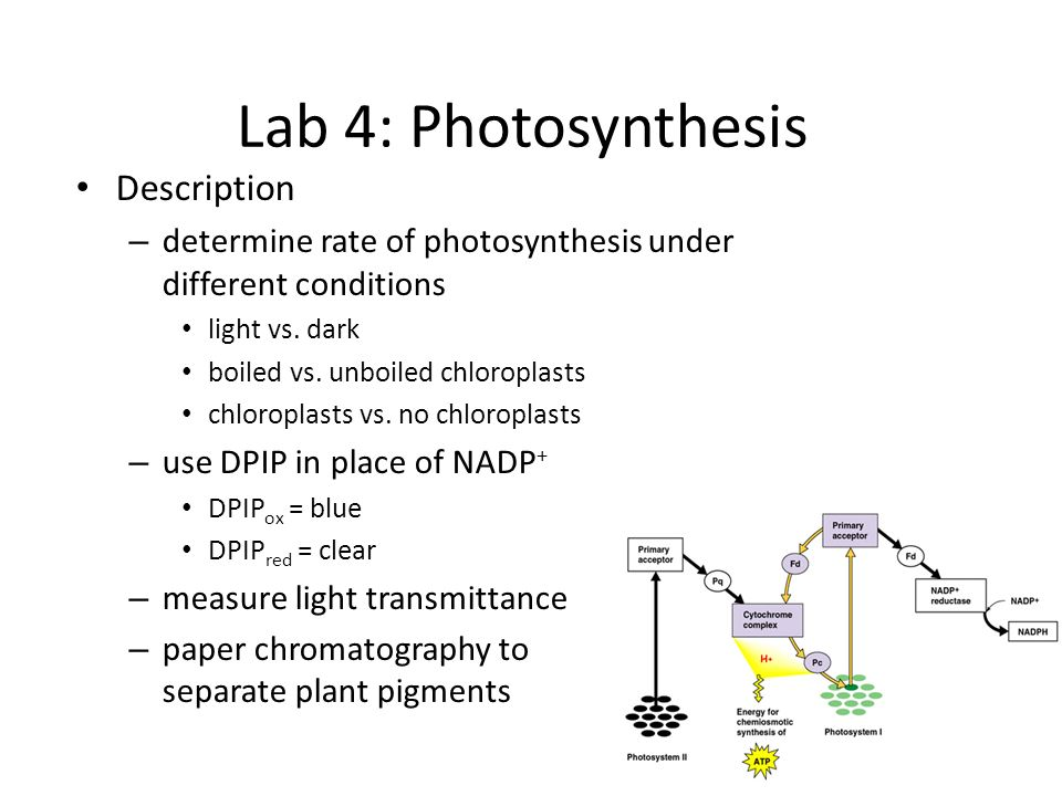Lab 4: Photosynthesis Description