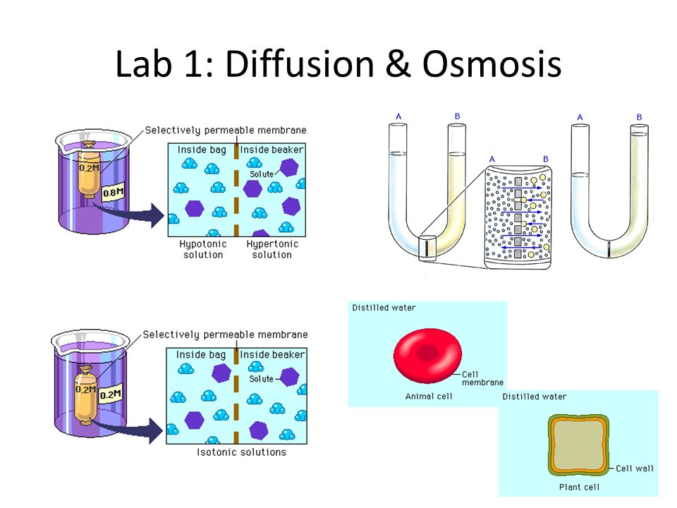 Ap Bio- Lab 1: Osmosis and Diffusion