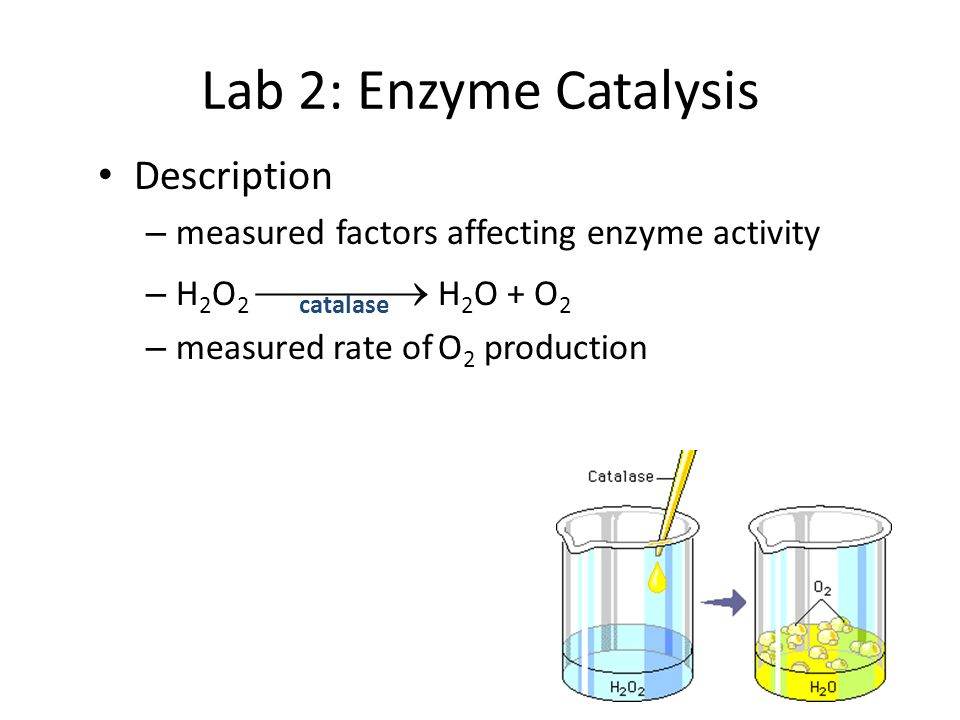 Lab 2: Enzyme Catalysis Description