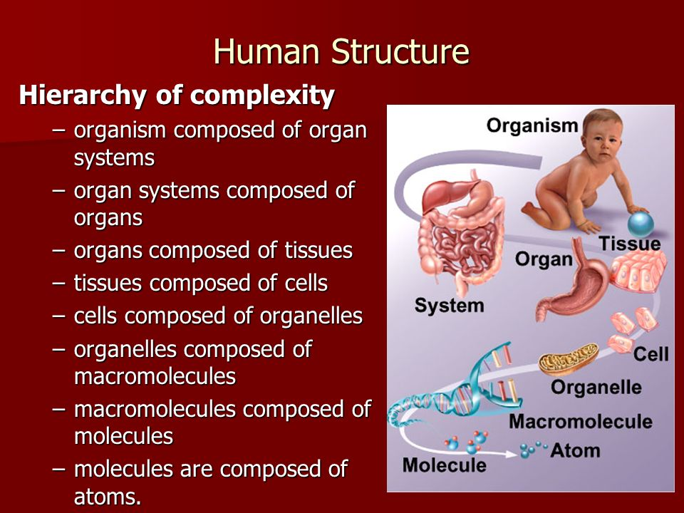 Human Structure Hierarchy of complexity