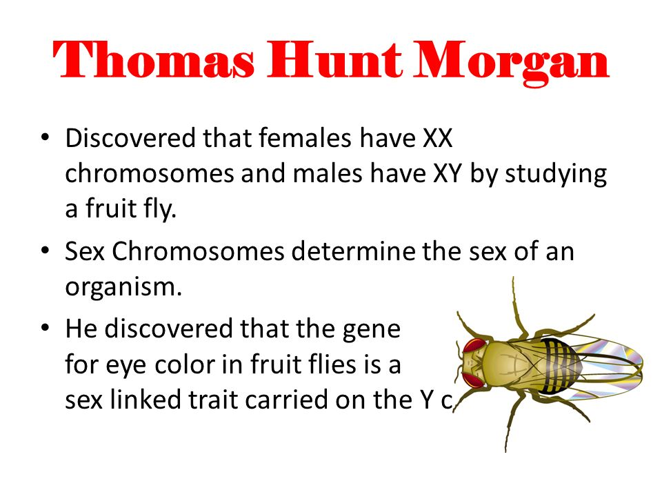Thomas Hunt Morgan Discovered that females have XX chromosomes and males have XY by studying a fruit fly.
