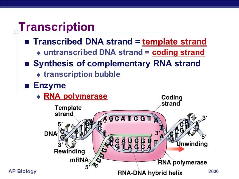 facts about dna strands Fact sheet on dna sequencing nanopore-based dna sequencing involves threading single dna strands through extremely tiny pores in a membrane.