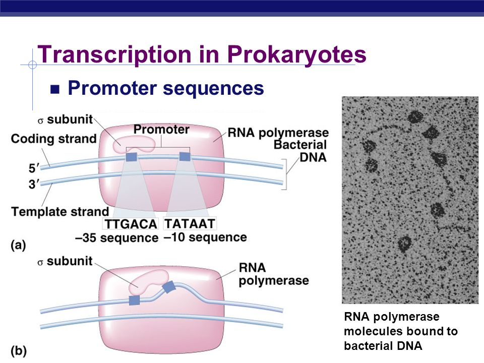 Transcription in Prokaryotes