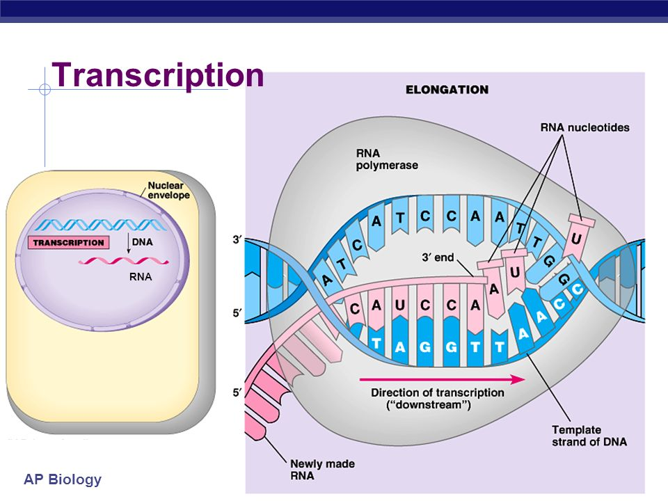 Transcription RNA 2005-2006