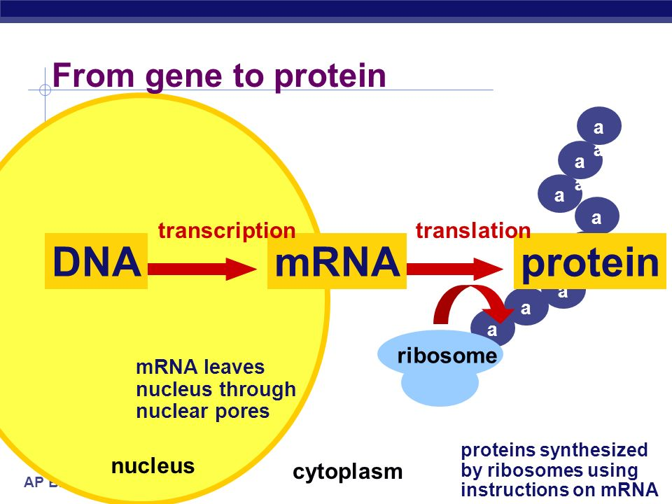 DNA mRNA protein From gene to protein transcription translation