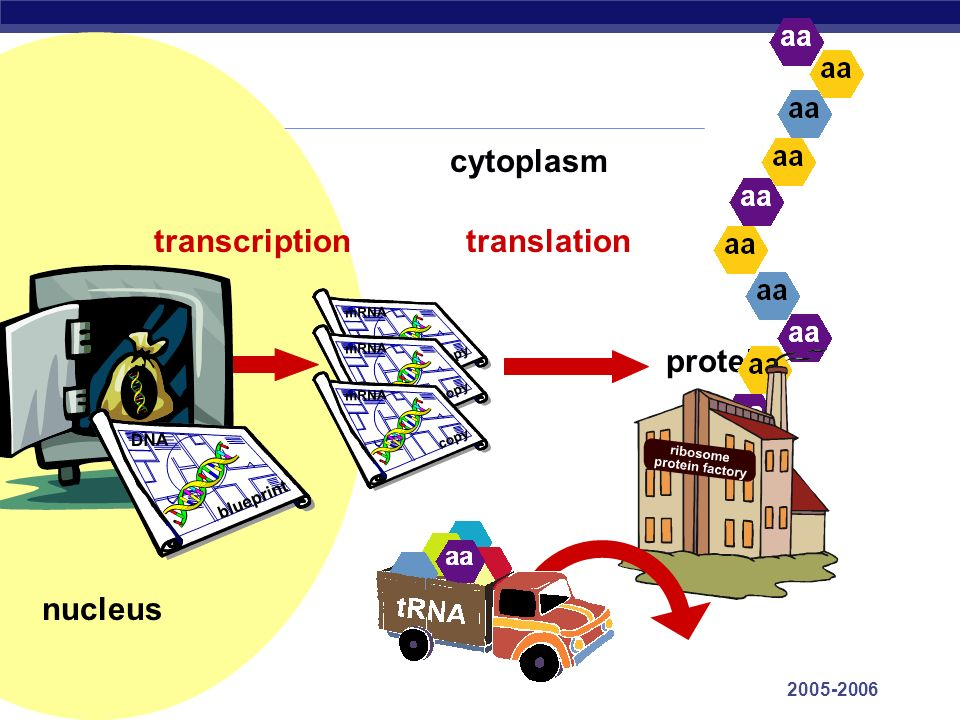 cytoplasm transcription translation protein nucleus