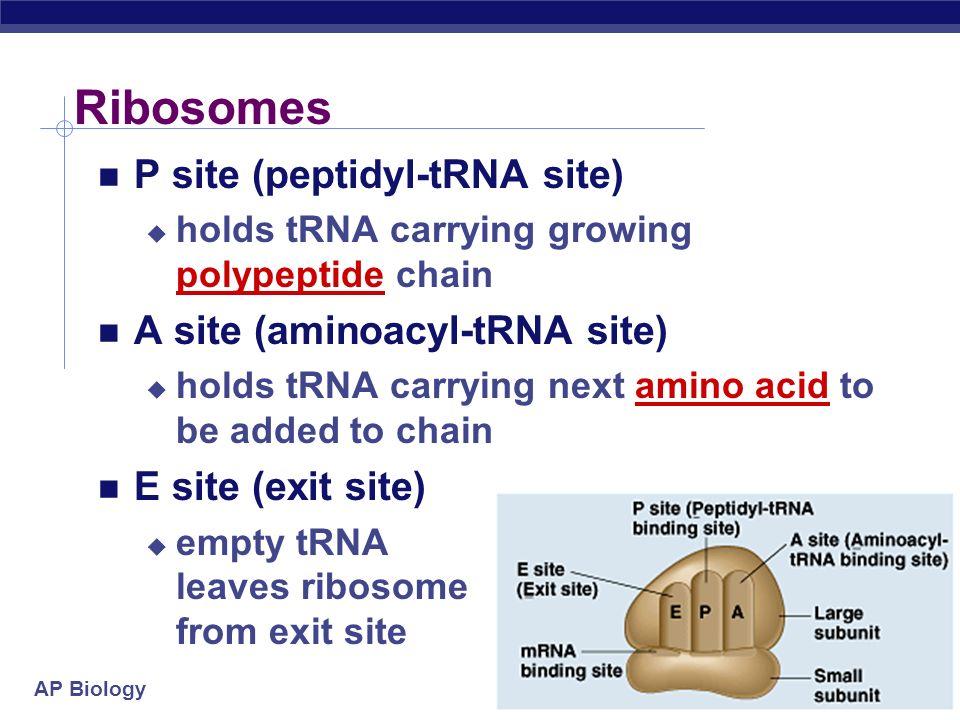 Ribosomes P site (peptidyl-tRNA site) A site (aminoacyl-tRNA site)