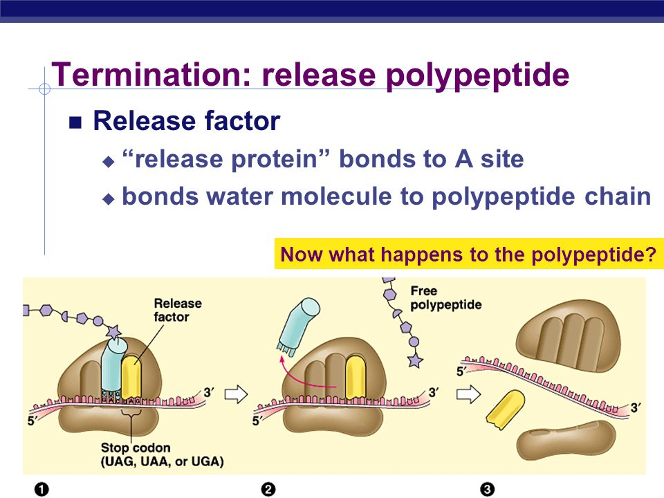 Termination: release polypeptide