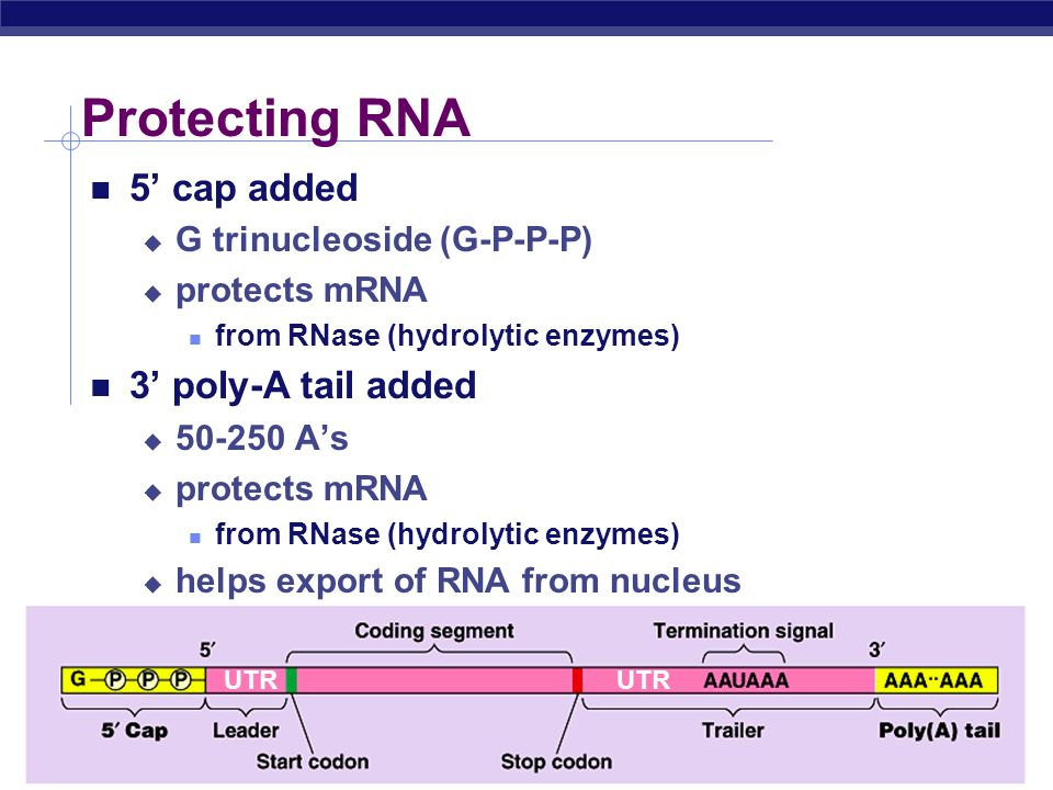Protecting RNA 5' cap added 3' poly-A tail added
