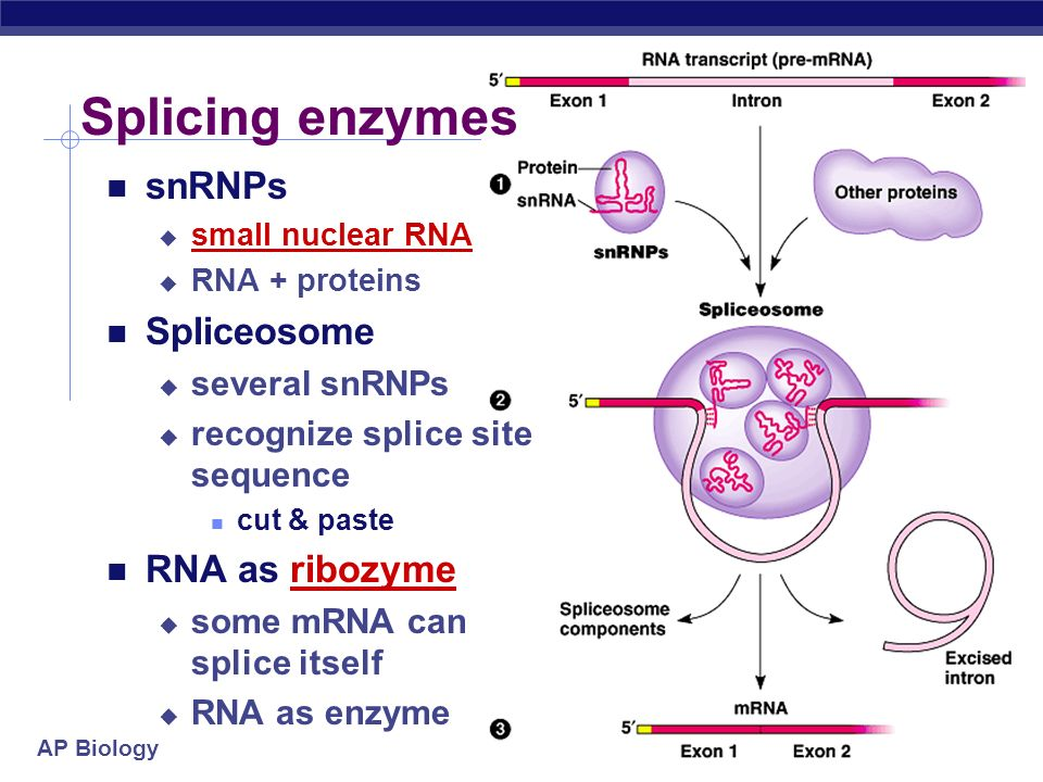 Splicing enzymes snRNPs Spliceosome RNA as ribozyme several snRNPs