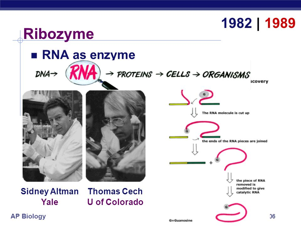 Ribozyme 1982 | 1989 RNA as enzyme Sidney Altman Thomas Cech Yale